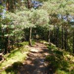Pfad durch Kiefernwald