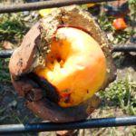 Apfel im Lehmmantel